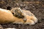 Half day old Amur tiger baby