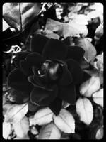 Death Rose by NightmareShayde