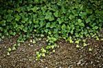ivy - stock