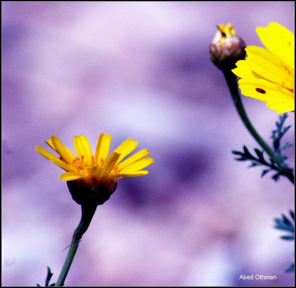 wild flowers 16, Palestine by Middle-East-Photogra ...