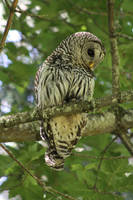 barred owl 5 by owlbird