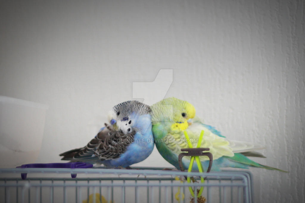Symetric budgies by couinette