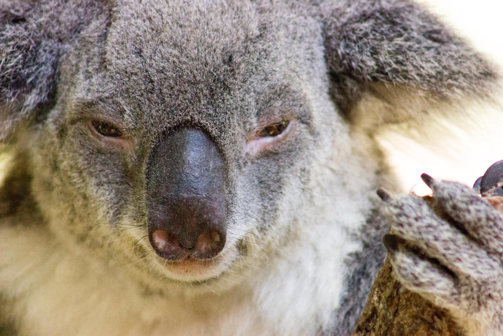 Koala closeup by ninebark