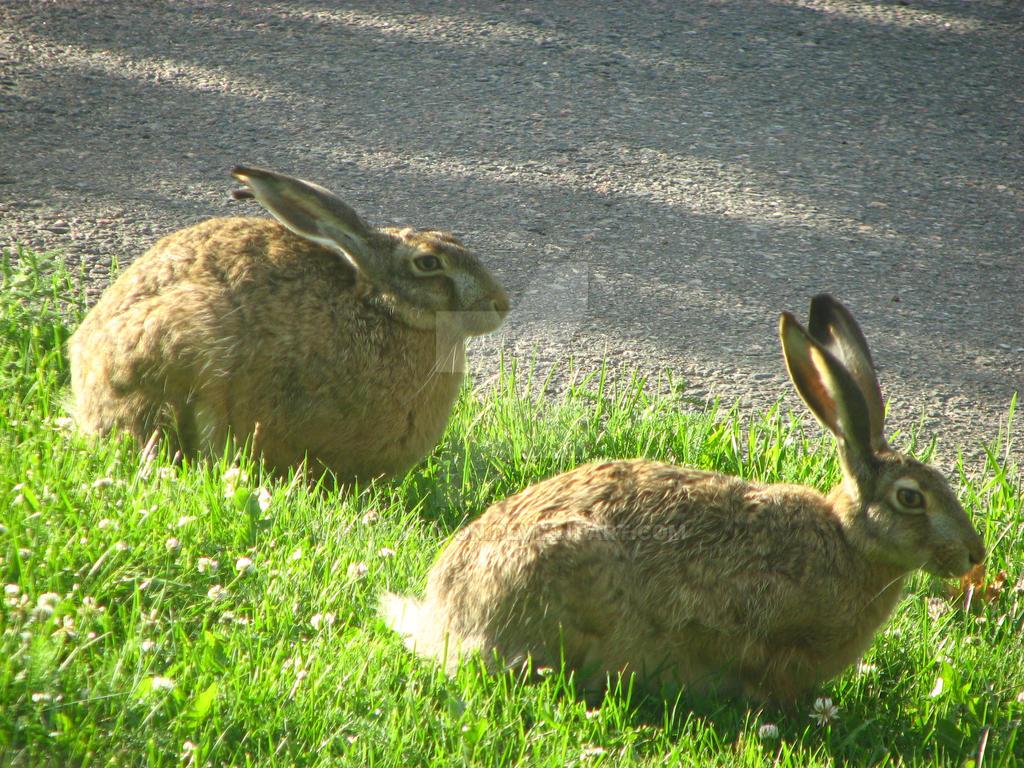 European hares III by Daramoon