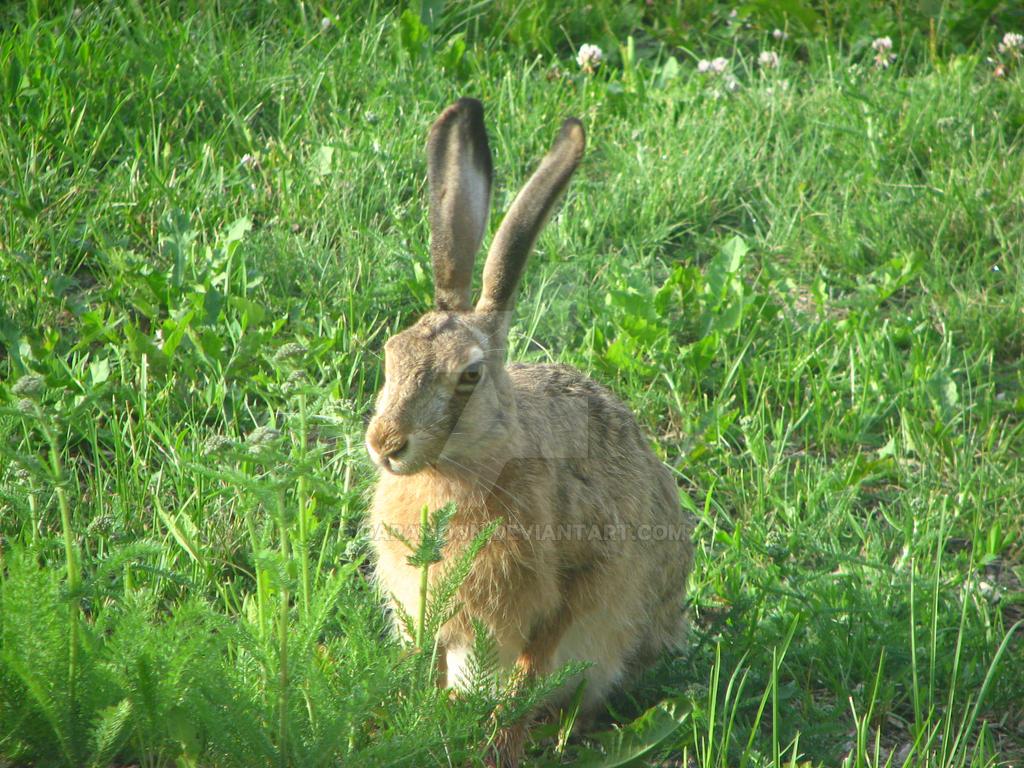 European hare by Daramoon