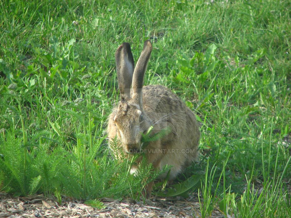 European hare II by Daramoon