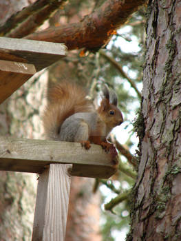 Squirrel with winter and summer coat