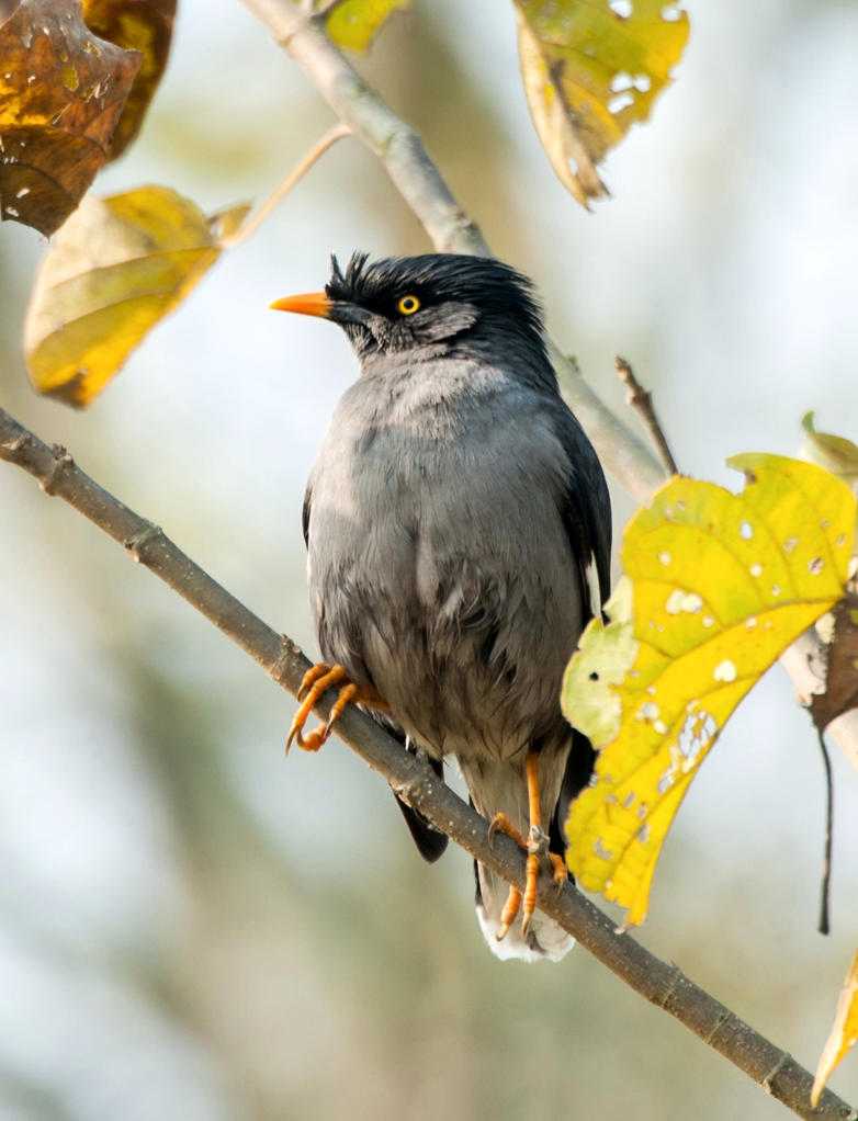 Jungle Myna by tectonixr