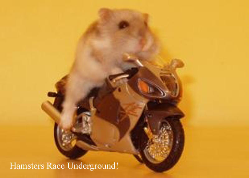 Image result for hamsters