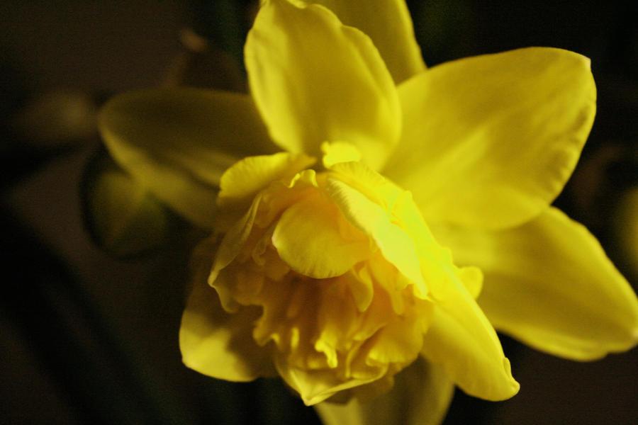 Daffodill 1 by sutoll
