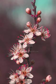 fleurscerisiers