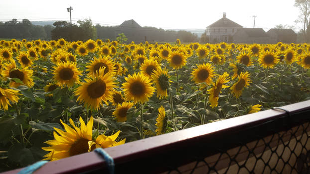 A Field of Sunflowers in the Summer