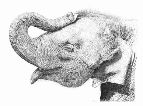 Baby Elephant Pencil Drawing
