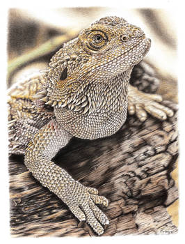 Bearded Dragon Coloured Pencil drawing