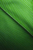 Leaf Of An Elephant Plant by Aquarianeye