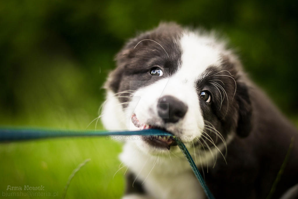 Puppy Border Collie by Psotkens