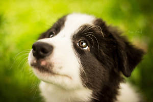 Border Collie again by Psotkens