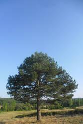 Pine tree by orhansarica