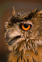 ..:: Owl ::.. by firegold