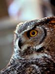 American Horned Owl
