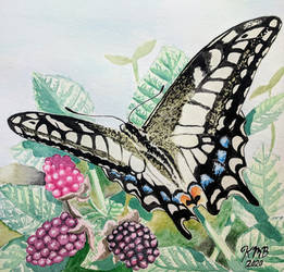 Swallowtail and Marionberries