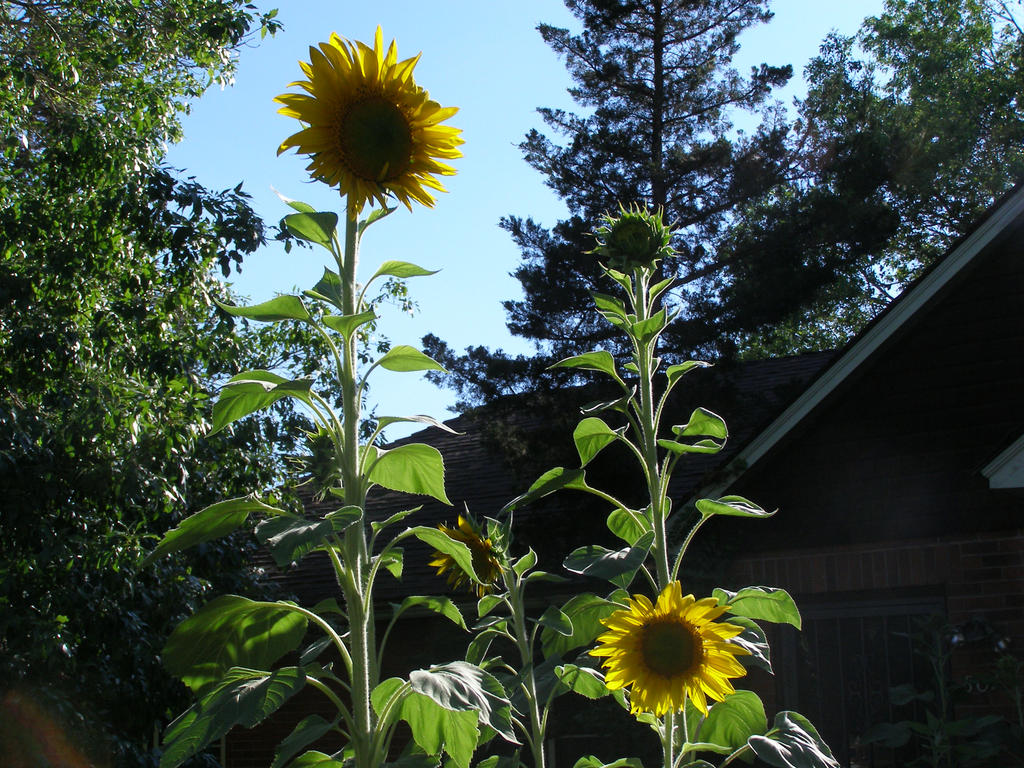 Three Sunflowers by avicados on DeviantArt