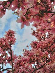 magnolia? by takumin