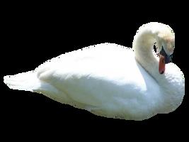 Swan PNG.. by AledJonesDigitalArt