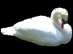 Swan PNG..