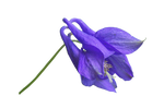 Blue Flower PNG..