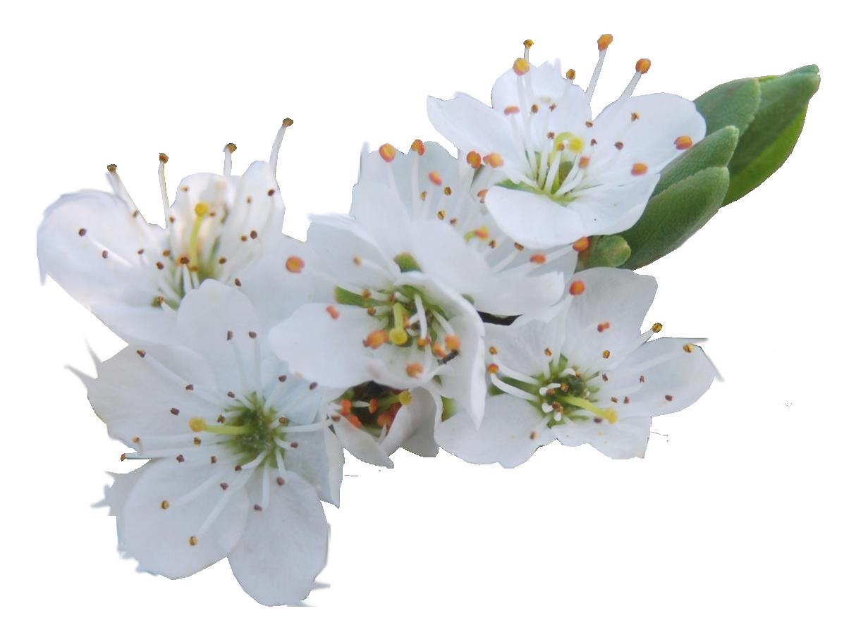 Blossom PNG.. by WelshDragonStockNArt