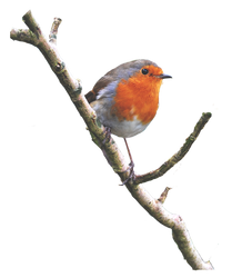 Robin On a Branch PNG.. by AledJonesDigitalArt