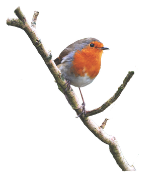 Robin On a Branch PNG..