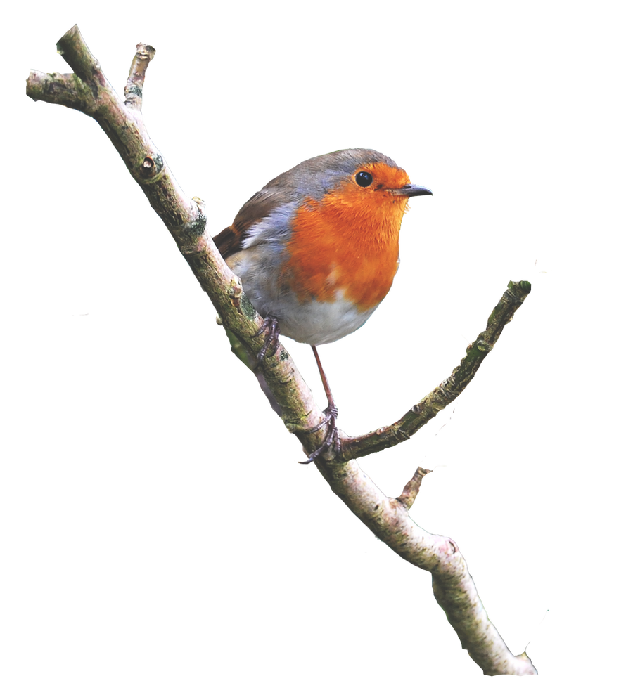 Robin On a Branch PNG.. by WelshDragonStockNArt