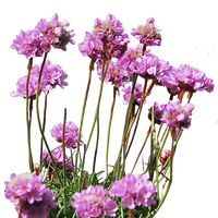 Sea Thrift PNG.. by AledJonesDigitalArt