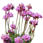 Sea Thrift PNG..