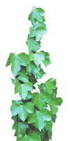 Ivy PNG..
