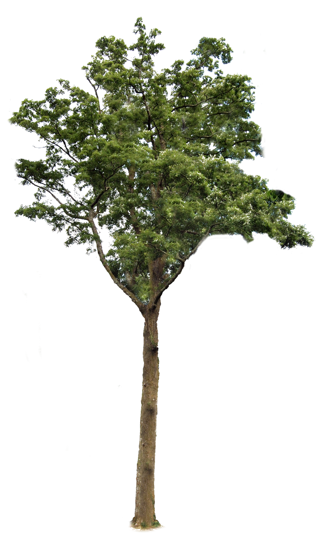 Tree 2 PNG   by Tree