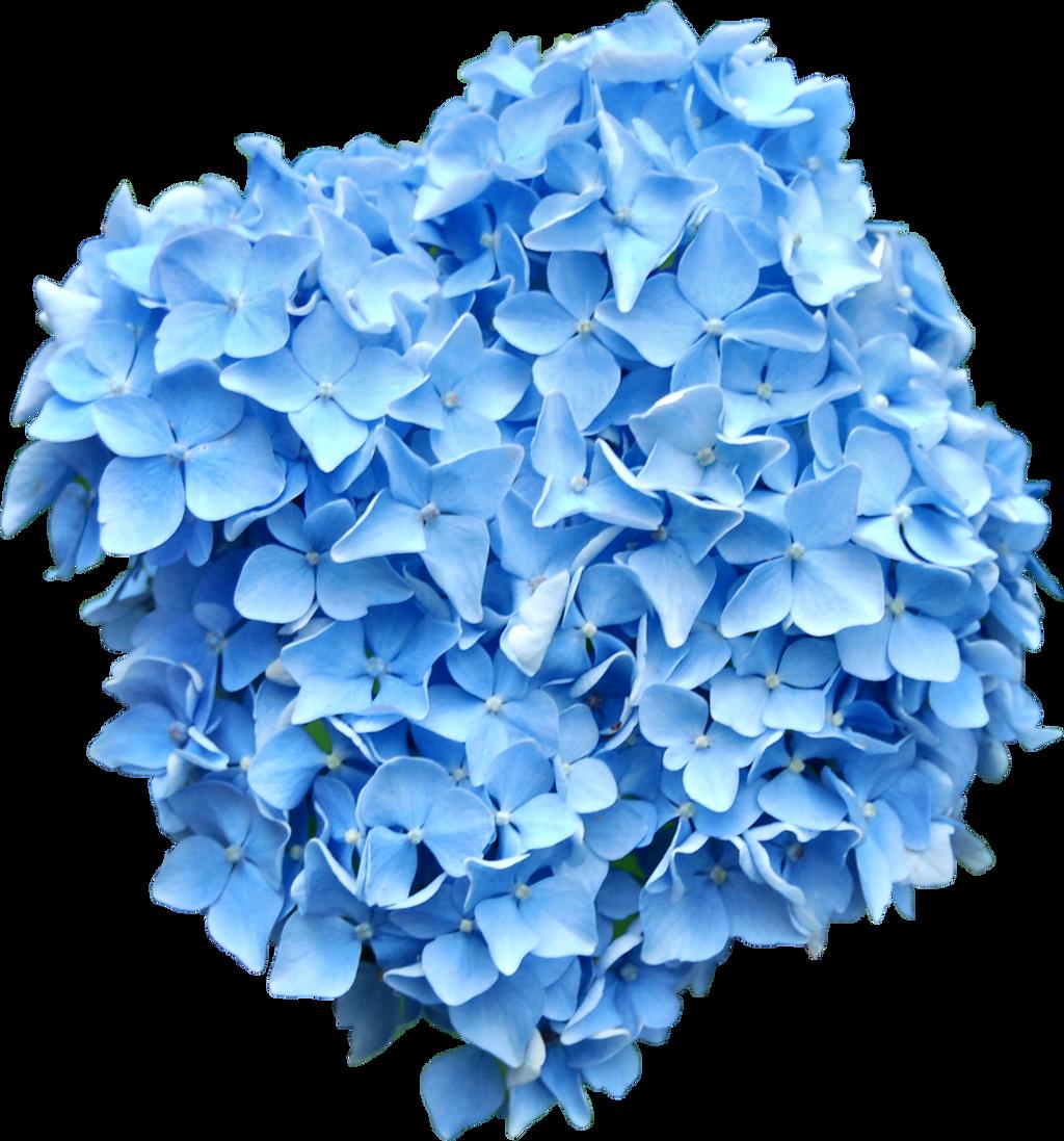 Blue Hydrangea PNG..