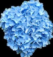 Blue Hydrangea PNG.. by AledJonesDigitalArt
