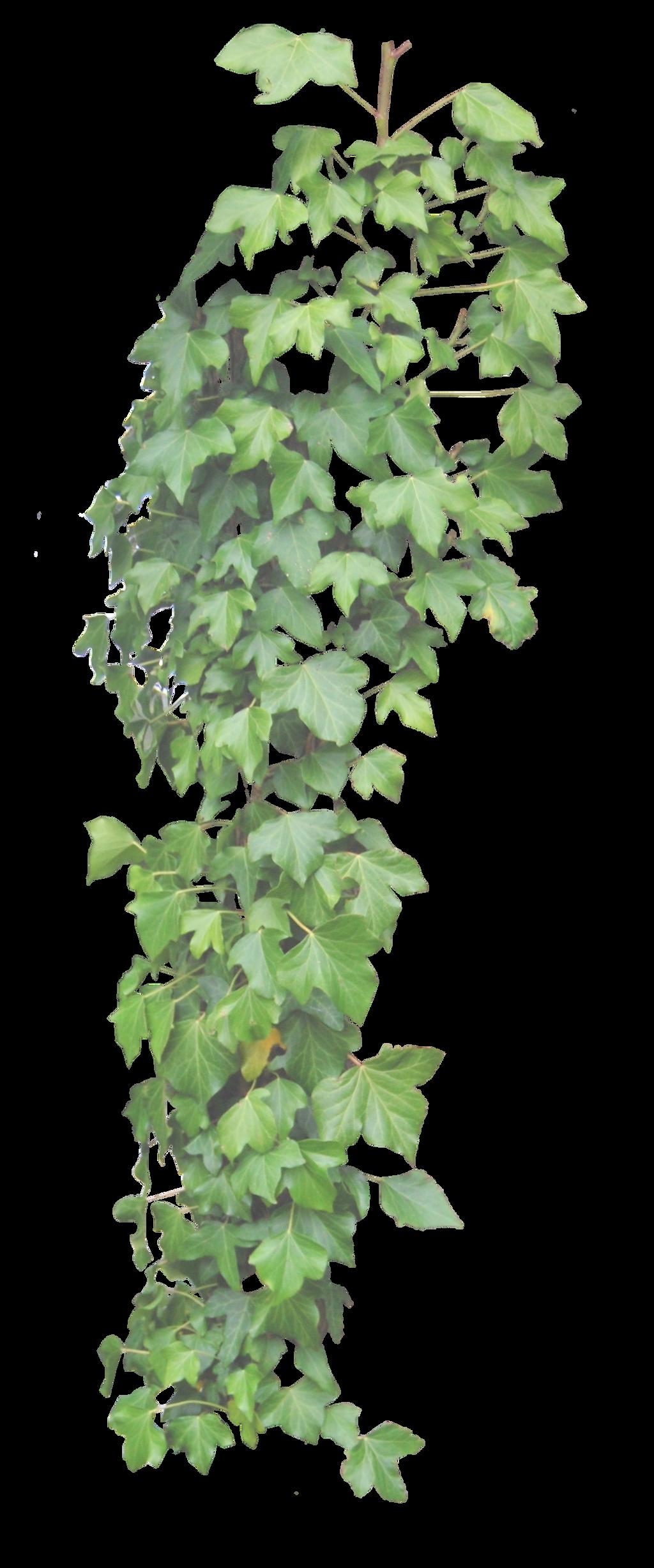 Hanging Ivy PNG..