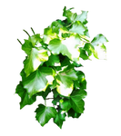 Ivy 03 PNG.