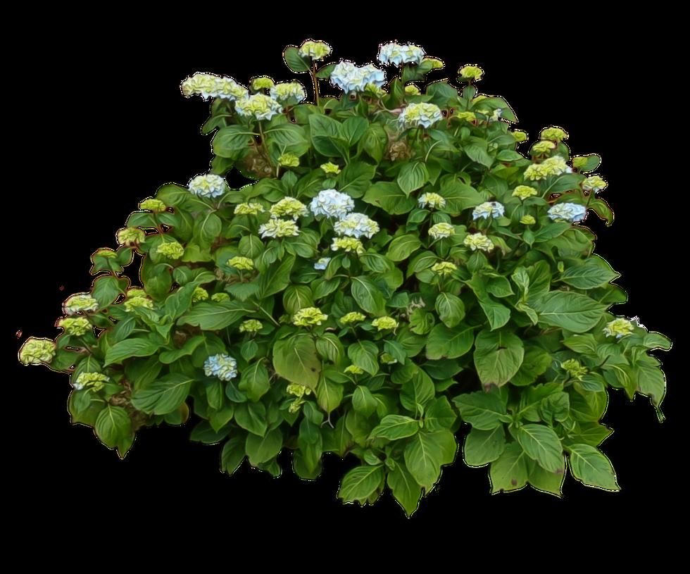 سكرابز اشجار صور اشجار للتصميم سكرابز شجر png صور اشجار hydrangea_bush___by_alz_stock-d7lwdoy.png