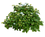 Hydrangea Bush..