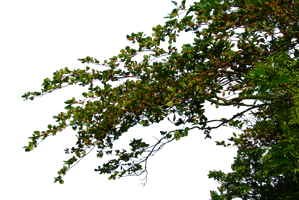 Hanging Leafy Branches PNG.. by AledJonesDigitalArt