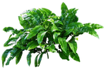 Leafy Plant PNG..