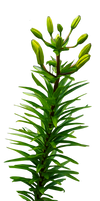 Long Leafy Plant PNG