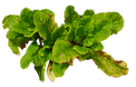 Dead Flower Leaves PNG..