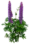 Lupines PNG..