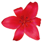 Red Flower PNG..